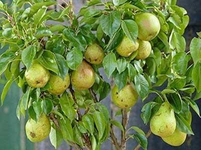 naspati pear name in sanskrit