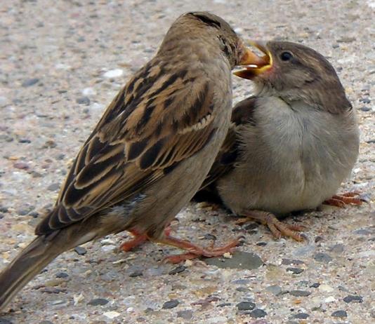 विश्व गोरैया दिवस (World Sparrow Day in HIndi)