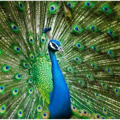 which is the india national bird in hindi, भारत का राष्ट्रीय पक्षी कोनसा है