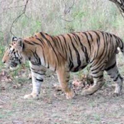 भारत का राष्ट्रिय पशु कोनसा है, which is the national animal of india in hindi